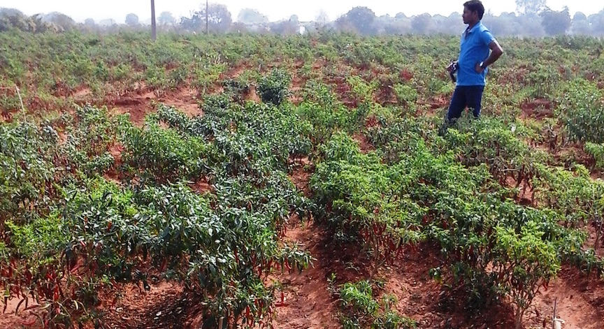 A chile pepper field in India, where NRGene has been developing breeds that farmers can plant in drip irrigation-watered fields. NRGene mapped the chile pepper genome last year (Courtesy)