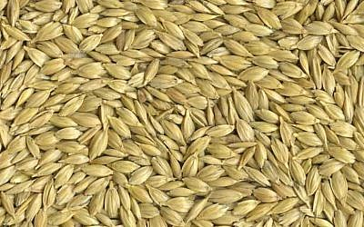Emmer wheat kernels (Courtesy)