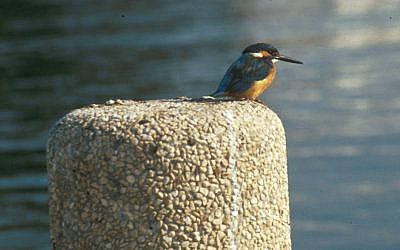 Kingfisher spotted on the Nahal Alexander walk (Shmuel Bar-Am)