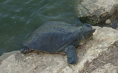 A Nile soft-shelled turtle pictured from the Nahal Alexander walk. (Shmuel Bar-Am)