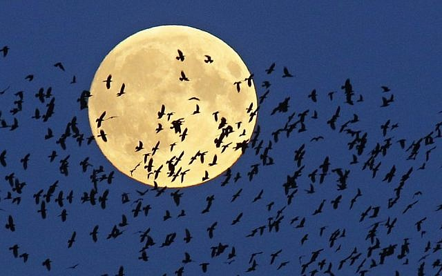 "A flock of birds fly by as a perigee moon, also known as a super moon, rises in Mir, Belarus, 95 kilometers (60 miles) west of capital Minsk, Belarus, late Sunday, Sept. 27, 2015. The full moon was seen prior to a phenomenon called a ""Super Moon"" eclipse that will occur on Monday, Sept. 28. (AP/Sergei Grits)"