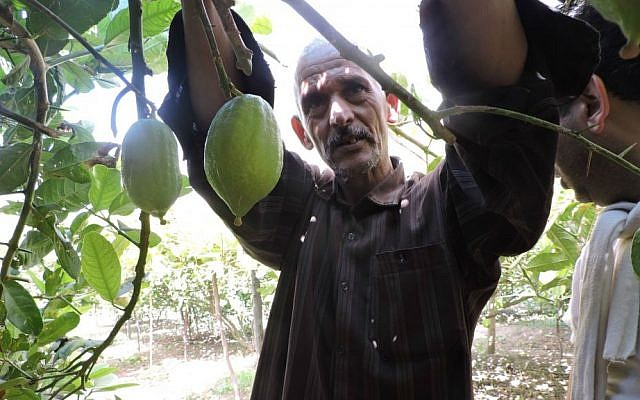 Jewish merchants come from around the world to buy from Moroccan etrog growers like Mohammed Douch in Assads, September 8, 2015. (Ben Sales/JTA)