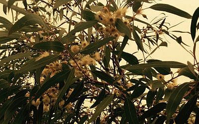 The bell-shaped blooms of the Lemon Mallee eucalyptus help pollination to flourish. (Jessica Steinberg/Times of Israel)
