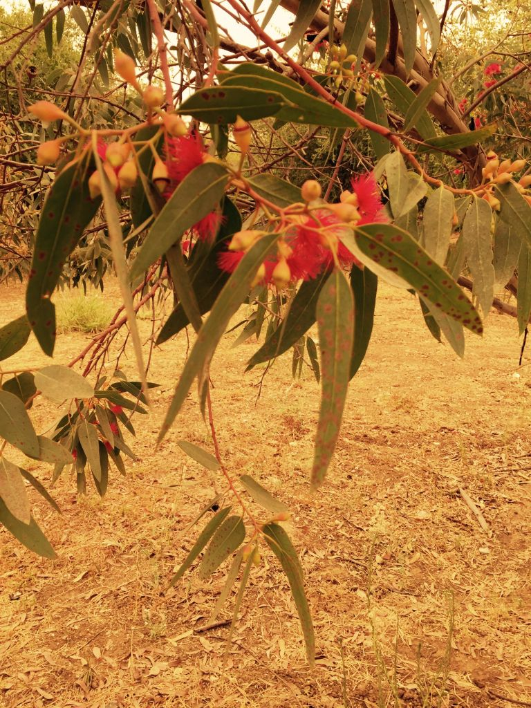 The red-capped gum, one of 80 types of eucalyptus trees planted in Israel each year (Jessica Steinberg/Times of Israel)
