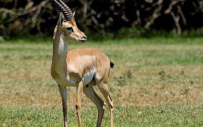 A Palestinian mountain gazelle. (CC BY-SA 3.0 Bassem18/Wikipedia)