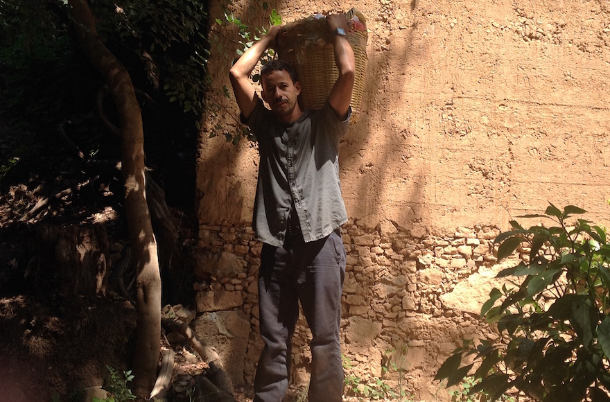 A Moroccan worker carrying etrogs in a grove in Assads, September 8, 2015. (Ben Sales/JTA)