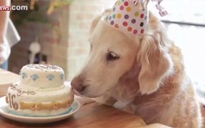 9/11 rescue dog Bretagne inspects her birthday cake at a party in New York on September 11, 2015. (screen capture: Sky News)