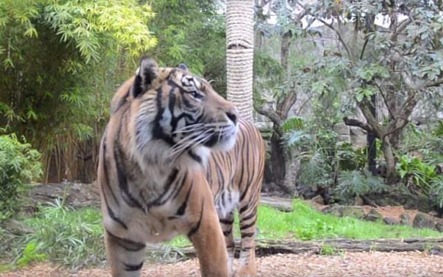 Israeli-born Oz the Sumatran tiger at Hamilton Zoo in 2013 (YouTube screen capture)