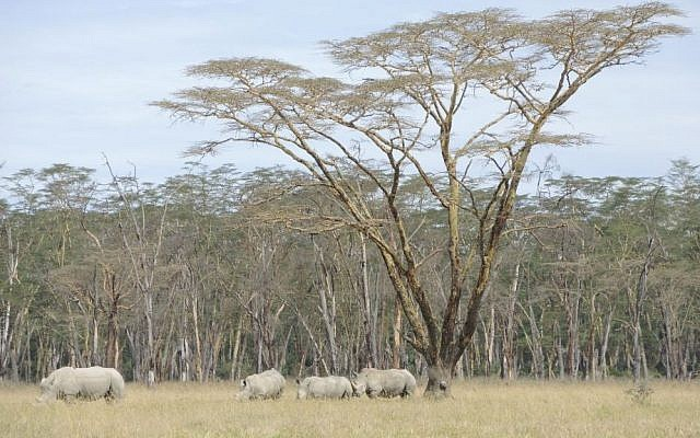 Rhinos under an acacia tree in Lake Nakuru National Park, near the Kasuku Jewish Community. (Melanie Lidman/Times of Israel)