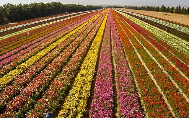 Aerial view of Israeli hikers walking among the flower beds at Nir Yitzhak, Southern Israel on April 18, 2015. Kathmandu Mayor Rudrah Singh Tamang said he was so impressed with the agricultural technology that enabled Israel to transform an arid land into successful farms. (Edi Israel/Flash90)