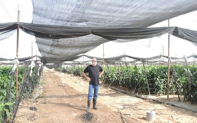 Hanan Pasternak stands in his pepper greenhouse on November 11, 2015. Pasternak employs more than 100 Palestinians during the high season. He exports exclusively to Russia after boycotts picked up strength in the EU. (Melanie Lidman/Times of Israel)
