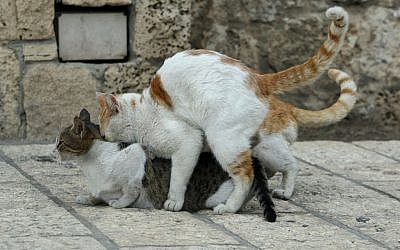 Male cats fight over a female in the Old City of Jerusalem, October 15, 2010. (Moshe Shai/FLASH90)