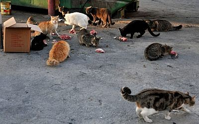Stray cats eating near a garbage container in the center of Jerusalem. October 23, 2014. (Nati Shohat/Flash90)