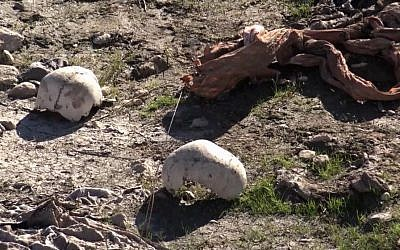 Skulls remain at the site of a purported mass grave in the city of Sinjar, northern Iraq after it was retaken from Islamic State militants, November 22, 2015. (AP via AP video/File)