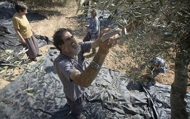 In this Sunday, Nov. 1, 2015 photo, Israeli activist Rabbi Arik Ascherman helps Palestinians harvest olives in the village of Burin near the West Bank city of Nablus. (AP Photo/Majdi Mohammed)