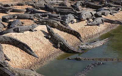 An illustrative photo of a crocodile farm in the Arava Desert, Israel, November 21, 2011 (Liron Almog/Flash90)