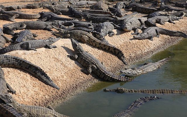 An illustrative photo of a crocodile farm in the Arava Desert, Israel, November 21, 2011 (Liron Almog/Flash90)