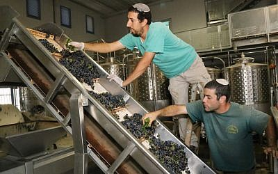 Jewish winemakers inspecting grapes at a winery in the West Bank settlement bloc of Gush Etzion, September 8, 2014. (Gershon Elinson/FLASH90)