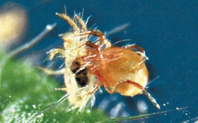 BioBee's  Bio Persimilis (Courtesy)