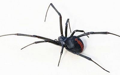Illustrative: A venemous redback spider female, found in suburban Sydney, NSW, Australia. Sydney police did not say what species of spider they found at local home on November 22, 2015 (Toby Hudson / Wikipedia)