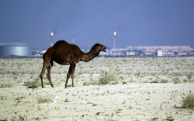 A file picture taken on December 14, 2015 shows a camel standing in the southern desert town of Samawa in an area used by Iraqi herdsmen to graze their stock. (AFP Photo/Haidar Hamdani)