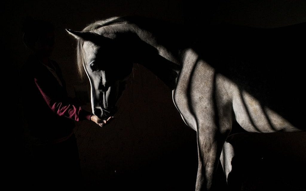 In this Monday, Dec. 7, 2015 photo, a veterinary technician feeds a horse at the Hebrew University's Koret School of Veterinary Medicine in Rishon Lezion, Israel.  (AP Photo/Oded Balilty)