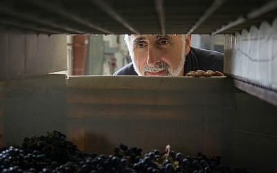 Jeff Morgan keeps an eye on the grapes for his kosher wines at the Covenant Winery in Berkeley, California (Steve Goldfinger)