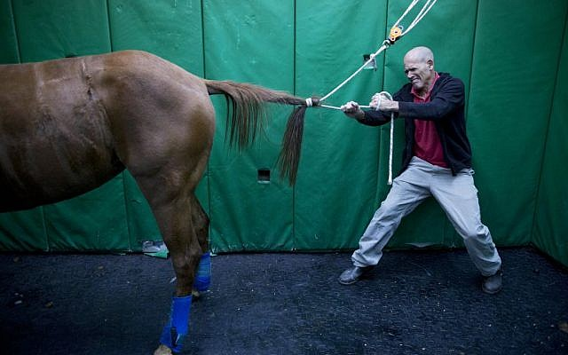 In this Wednesday, Dec. 2, 2015 photo, Dr. Gal Kelmer, head of the department of large animals, unties a horse after its operation at the University's Koret School of Veterinary Medicine in Rishon Lezion, Israel. (AP Photo/Oded Balilty)