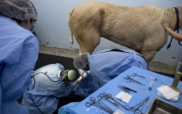 In this Sunday, Nov. 29, 2015 photo, veterinarians operate on a horse with leg wounds at the Hebrew University's Koret School of Veterinary Medicine in Rishon Lezion, Israel. (AP Photo/Oded Balilty)