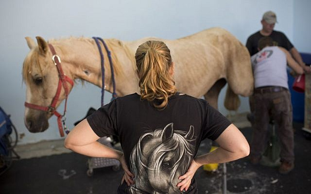 In this Saturday, Nov. 28, 2015 photo, veterinarians examine a horse after his surgery at the Hebrew University's Koret School of Veterinary Medicine in Rishon Lezion, Israel. (AP Photo/Oded Balilty)
