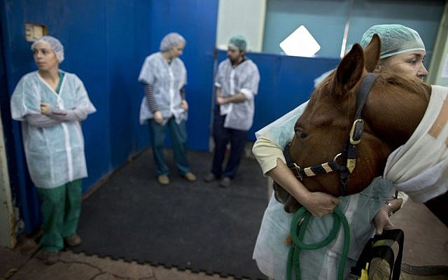 In this Wednesday, Dec. 2, 2015 photo, a veterinarian holds a horse as he is anesthetized before a surgery at the University's Koret School of Veterinary Medicine in Rishon Lezion, Israel. (AP Photo/Oded Balilty)