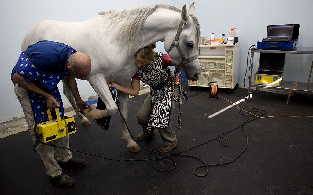 In this Monday, Nov. 23, 2015 photo, Dr. Gal Kelmer, head of the department of large animals, left, and a veterinarian technician prepare a horse for an X-ray demonstration at the Hebrew University's Koret School of Veterinary Medicine in Rishon Lezion, Israel. (AP Photo/Oded Balilty)