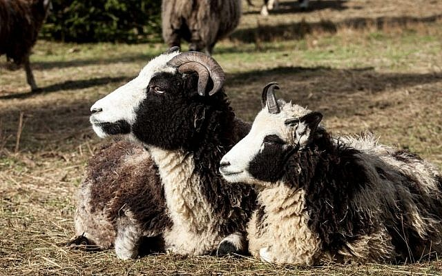 Molly and Leah, two members of the Lewinsky flock. The sheep are prized for their spotted and speckled coats, though there are only a few thousand left in the world. (courtesy Gil Lewinsky/Mustard Seed Imaging)