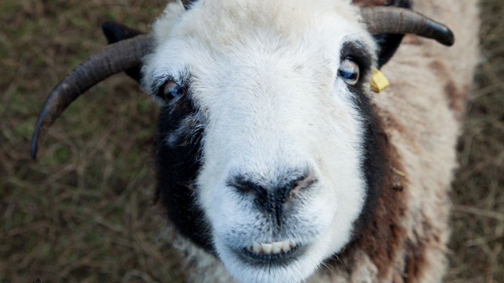 A Jacob sheep named Rachel, with what the Lewinskys call her 'happy face,' on their rental farm in Abbotsford, BC, Canada. (courtesy Gil Lewinsky/Mustard Seed Imaging)