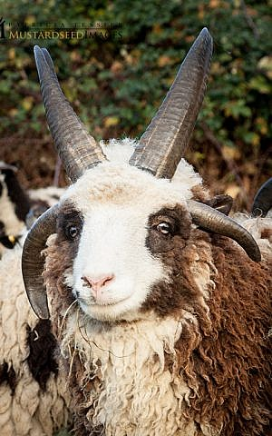 While sheep generally have two horns, Jacob sheep usually have four to six horns, including large horns that frame their face, like Solomon, a member of the Lewinsky flock. (courtesy Gil Lewinsky/Mustard Seed Imaging)