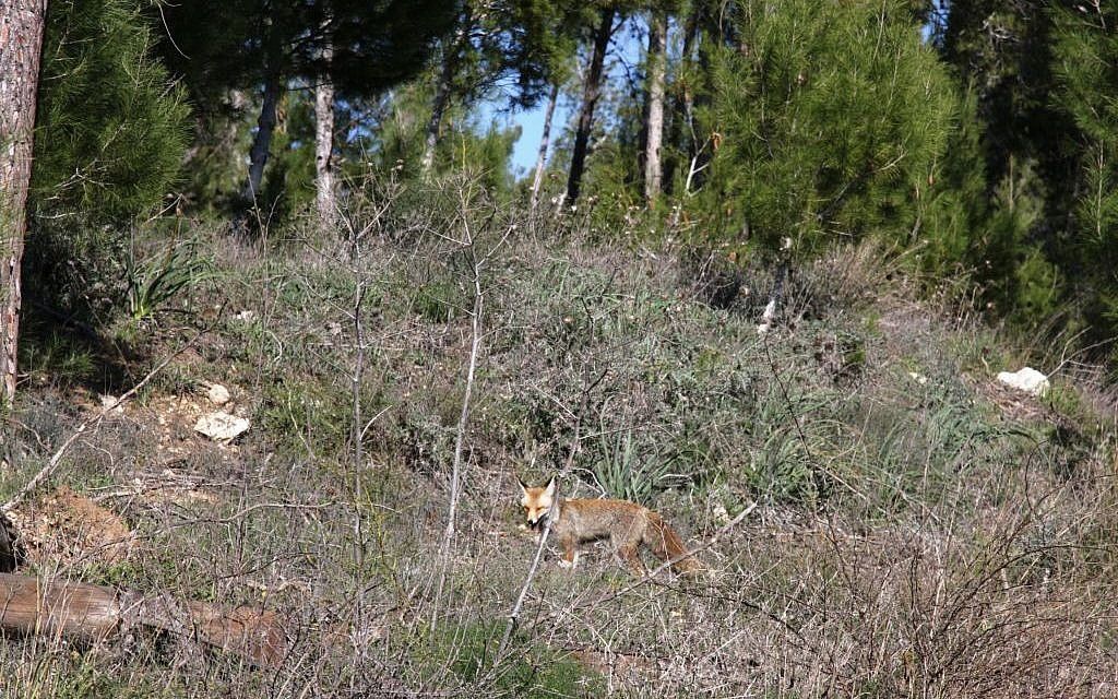 A fox in the Amazia Forest (Shmuel Bar-Am)