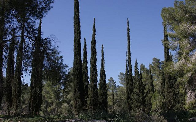 Cypress trees in the Amazia Forest (Shmuel Bar-Am)