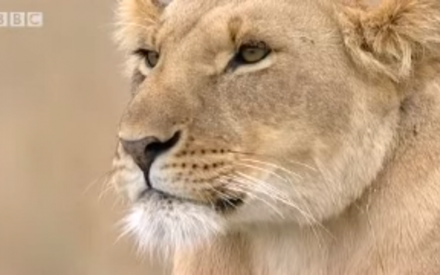 Bibi, a lioness from the Marsh pride, in a screenshot from a BBC wildlife program. (YouTube Screenshot)