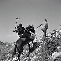 Farmers struggle up the hill at Givat Yearim in 1956. (Courtesy KKL-JNF/Werner Brown)
