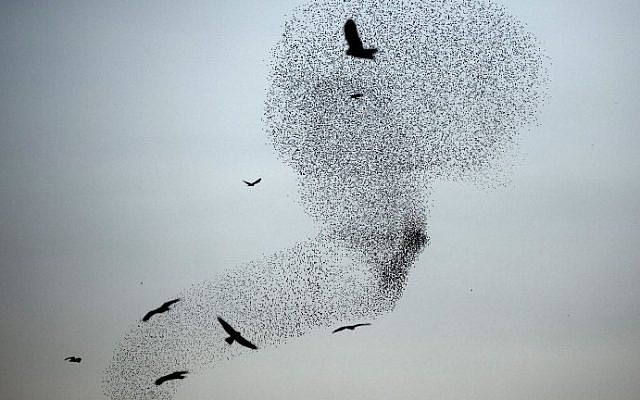 A picture taken on December 28, 2015 shows a murmuration of starlings performing their traditional dance before landing to sleep near the southern city of Rahat, in the northern Negev desert. (AFP PHOTO / MENAHEM KAHANA)