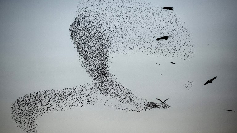 A picture taken on January 4, 2016 shows a murmuration of starlings performing their traditional dance fly before landing to sleep near the southern Arab Israeli city of Rahat, in the northern Israeli Negev desert. AFP PHOTO / MENAHEM KAHANA / AFP / MENAHEM KAHANA