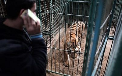 In this  Jan 10, 2016 photo, Palestinian owner of the South Jungle Zoo, Mohammed Ouida, stands in front of the cage of the African tiger, in Rafah, southern Gaza Strip. (AP Photo/ Khalil Hamra)
