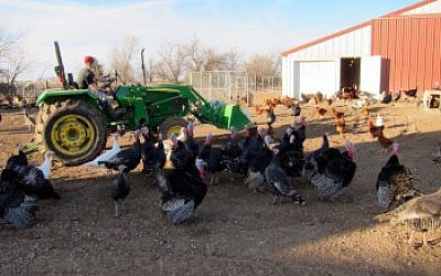 Life on the Good Shepherd Poultry Ranch. (Victor Wishna/JTA)