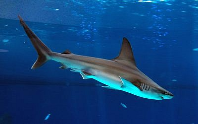 A shark swimming in the shark aquarium, Eilat, October 07, 2014. (FLASH90)