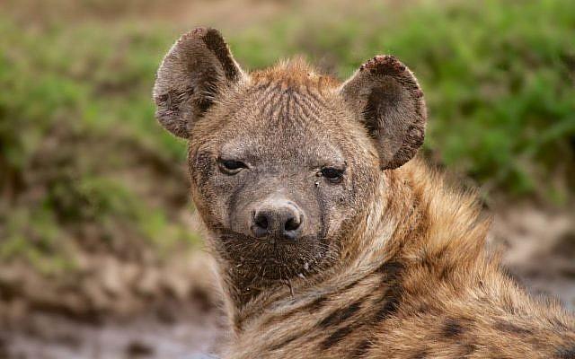 A wild hyena seen in Tanzania, Africa. April 10, 2014. (Doron Horowitz/Flash90)