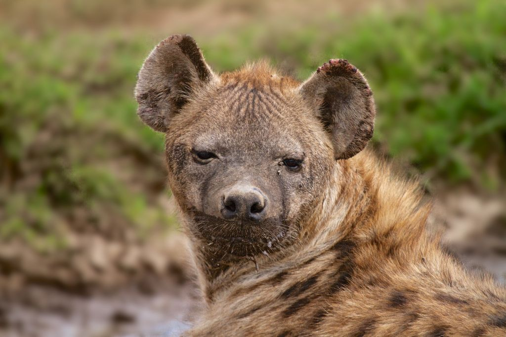 In Israel Hyenas And Wolves Team Up To Survive The