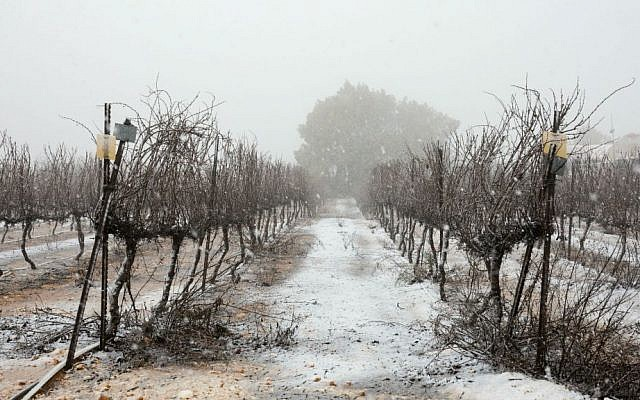 An orchard covered in snow in the Etzion Bloc, south of Jerusalem, January 25, 2016. (Nati Shohat/Flash90)