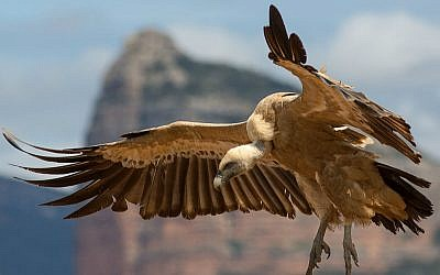 Illustrative photo of a griffon vulture (Wikimedia Commons/ CC BY-SA 3.0/ Pierre Dalous)