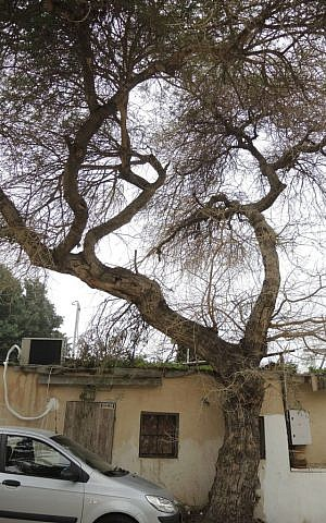 The apple ring acacia tree was common in Tel Aviv before humans inhabited the area. (Melanie Lidman/Times of Israel)
