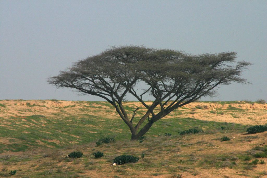 An umbrella acacia on the Jewish National Fund's 18-kilometer Besor Scenic Route, in the Negev. (Shmuel Bar-Am)